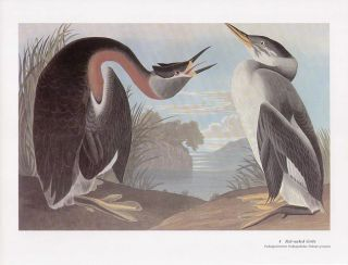 John James Audubon Folio Size Bird Print Red Necked Grebe