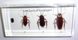 Life Cycle of American Cockroach Specimen in Lucite