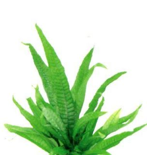 Java Fern for Live Moss Bottle Plant Outdoor Living A4