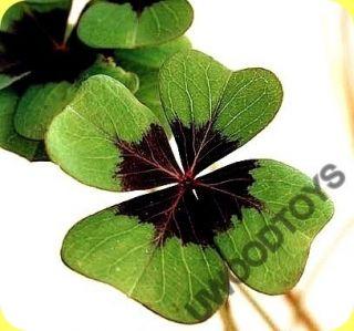 Grow Your Own Four Leaf Clover Good Luck Plant
