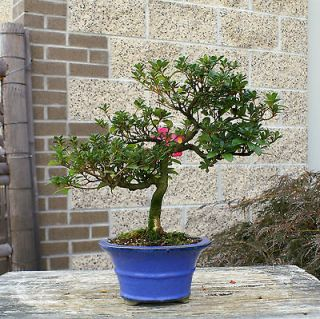 Newly listed Bonsai Tree Satsuki Azalea Azumakagami SAA 1016B