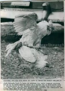 1964 Leghorn Roosters White Fight Chicago Duel Cockfighting Birds