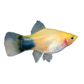 Aquarium fish live fish for sale for Freshwater fish online